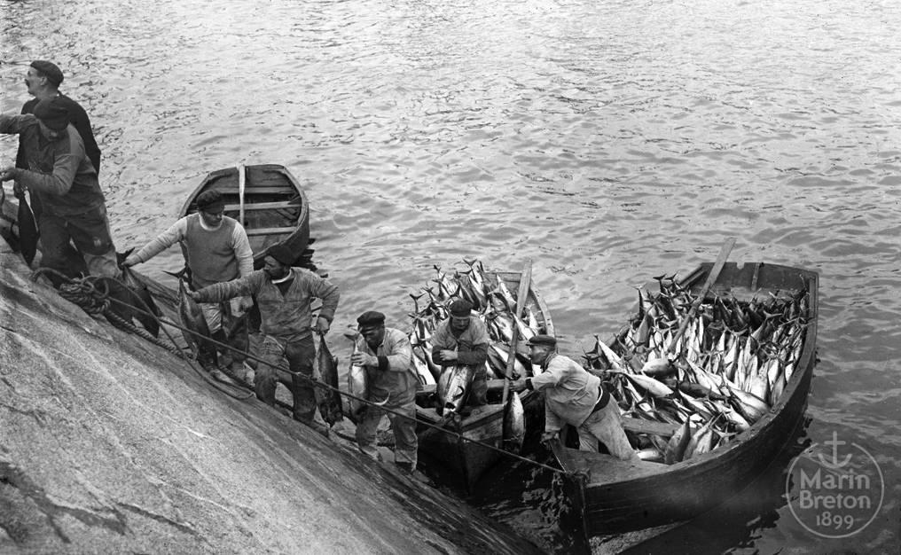 Le débarquement du thon dans le port de Concarneau (1920)
